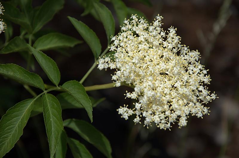 elderberry flower benefits