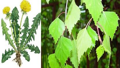 dandelion and birch health benefits